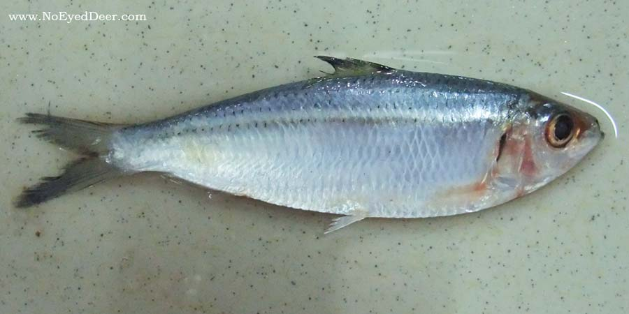 sardinella-fimbriata-1b - Buwad nga Lawlaw or Not? - Philippine Photo Gallery